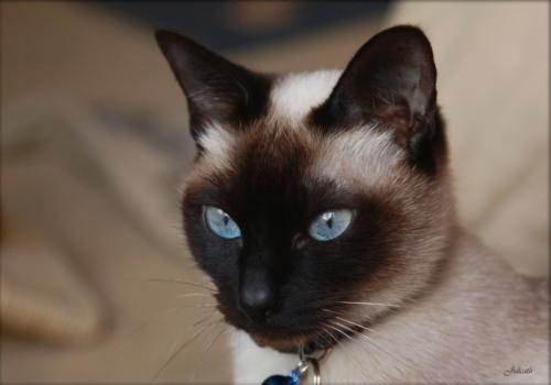 О синеглазом чуде – сиамской кошке (немного из истории происхождения)