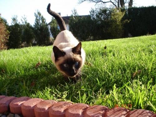 О разновидностях сиамских кошек